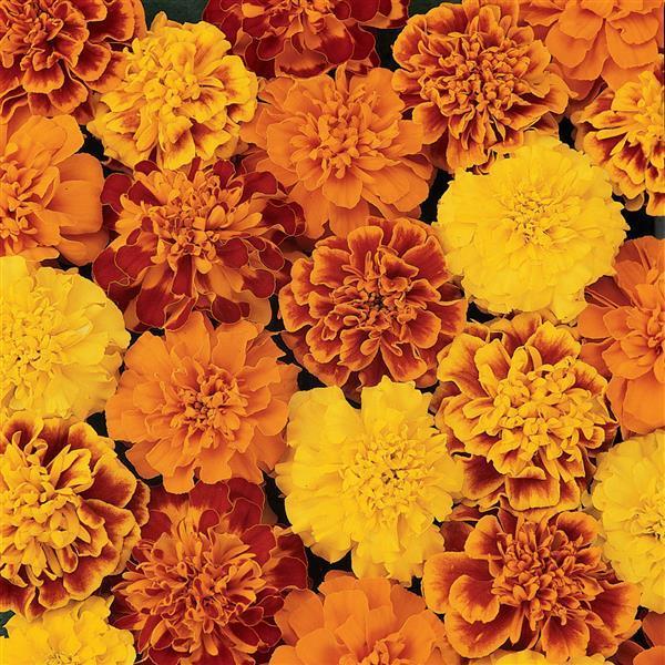 Marigolds Rather Than Walnuts – Yom Kippur 5781